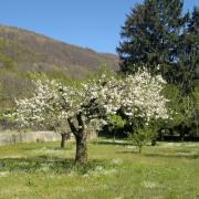 Il melo fiorito